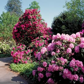 Wilt-Pruf winter protection for Rhododendrons